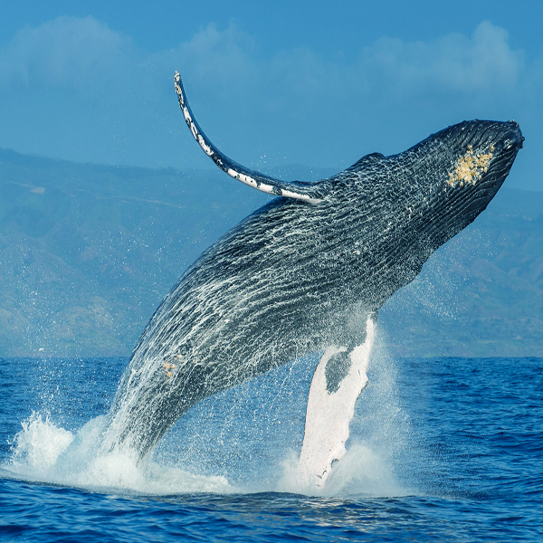 A humpback whale leaps from the ocean water